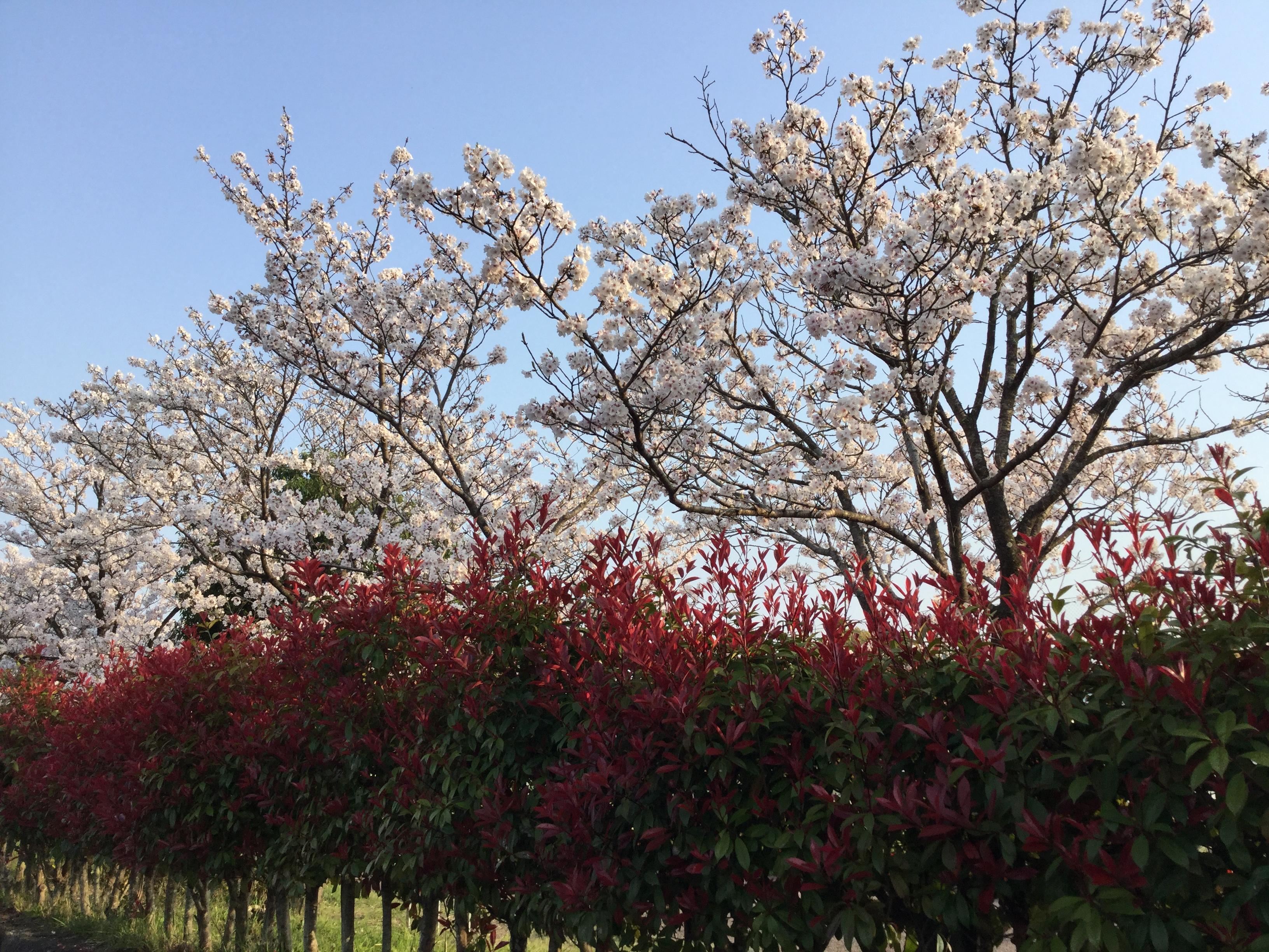 http://shikoku.misawa.co.jp/area_kouchi/SAKURA.JPG