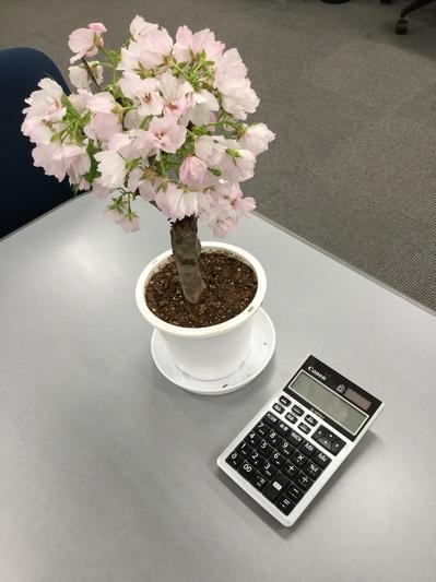 mini桜.JPG