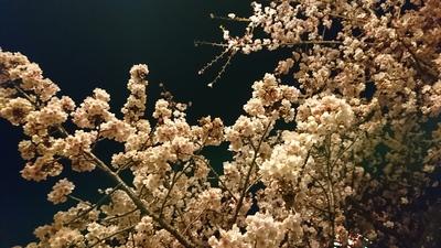 201803寒桜.JPG