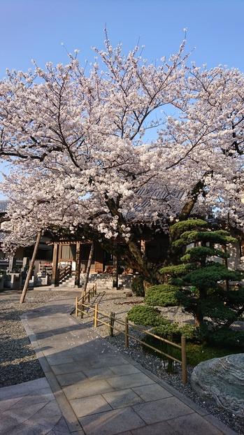 300330桜①.JPG