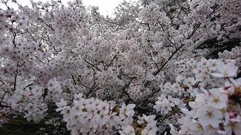 300330桜②.JPG