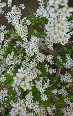 300406白い花.JPG
