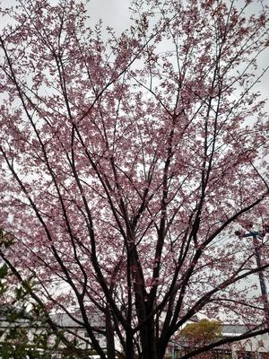 20210312桜.JPG
