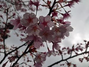 20210312桜2.JPG
