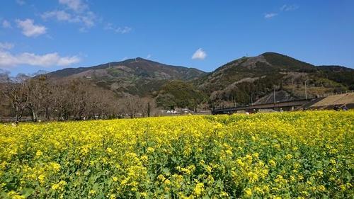 菜の花畑(1).JPGのサムネイル画像