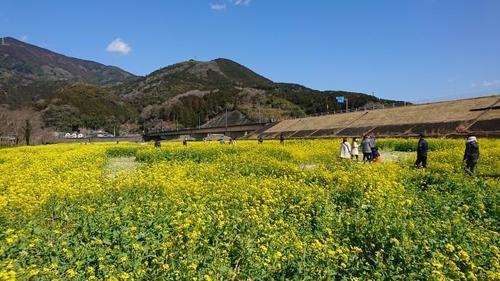 菜の花畑(3).JPG