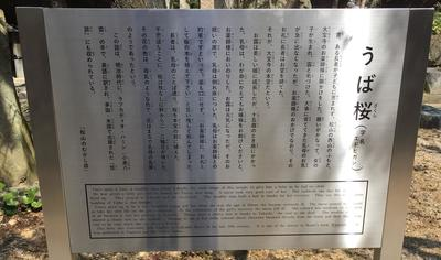 大宝桜4.JPG