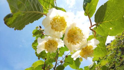 キウイフルーツの花①.jpg