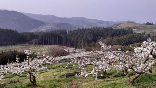 梨畑2021.JPG