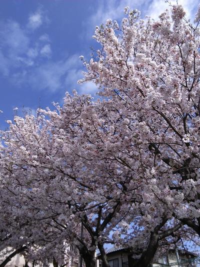 ブログ桜1.JPG