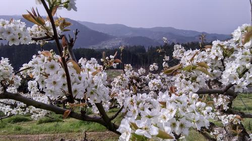 梨花①.JPG