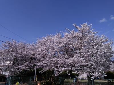 ブログ桜3.JPG