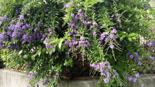 庭先の花④.JPG