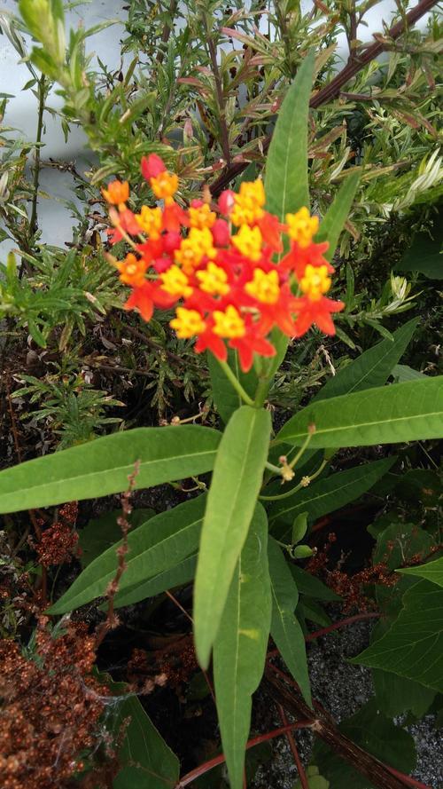 庭先の花②.JPG
