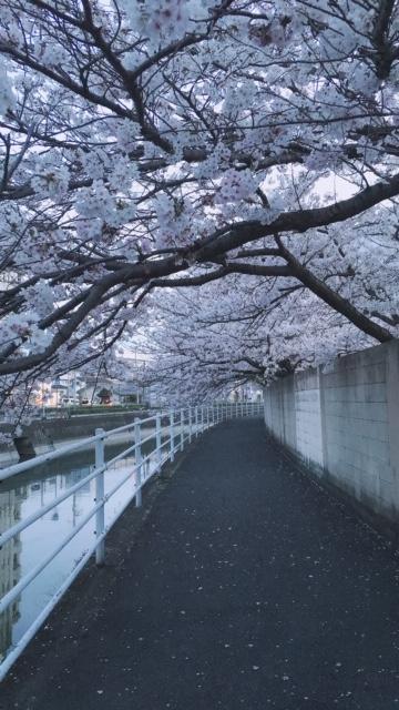 20.4桜①.JPG