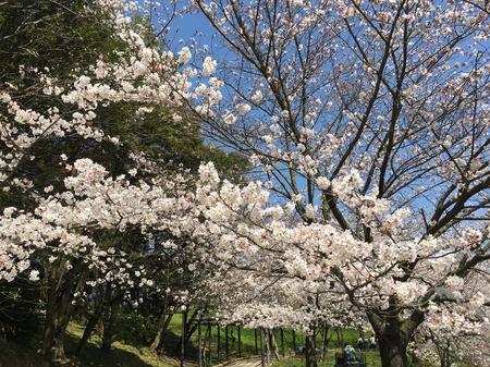 2018.3月桜.jpg