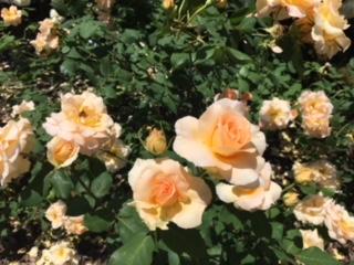 5月ROSE.jpg