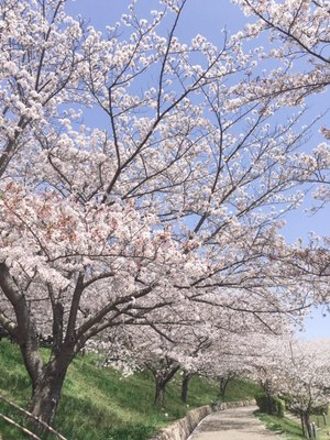 31.4月桜①.jpg