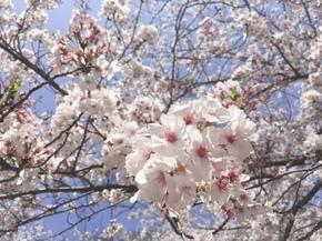 31.4月桜②.jpg