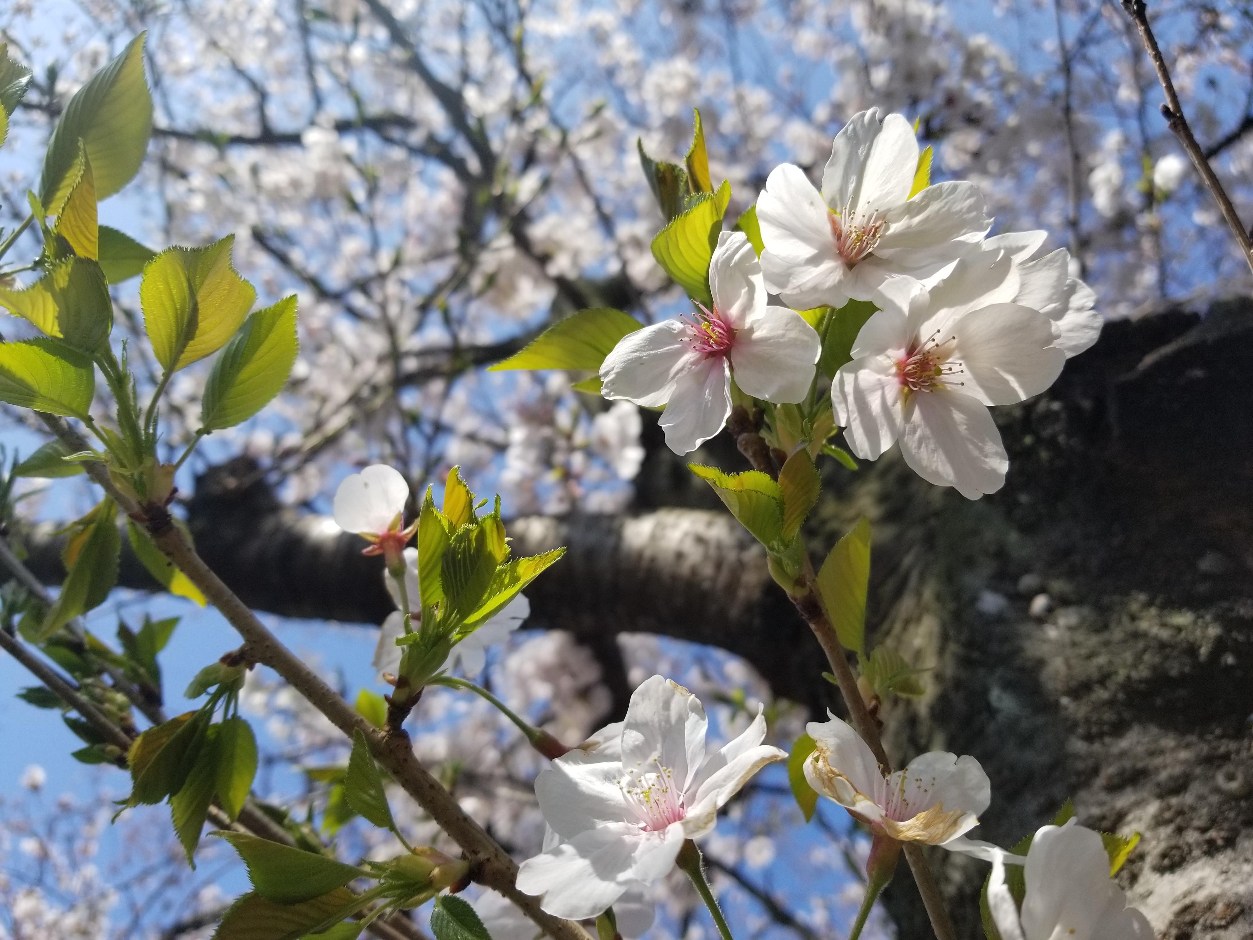 桜20190404.jpg