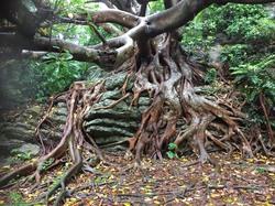 アコウの木.jpeg